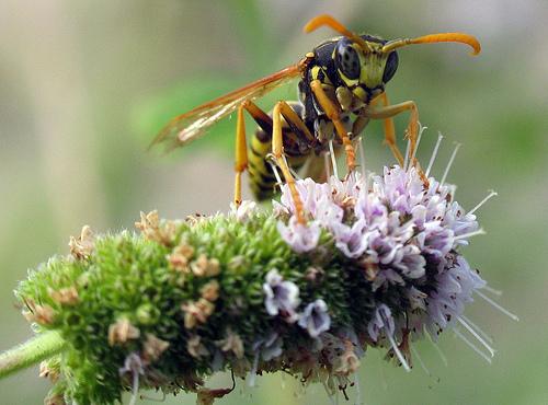 Bộ sưu tập côn trùng 2 - Page 12 Polistes_dominula_male